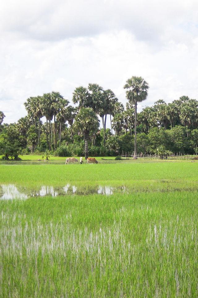 Rizières de Battambang au Cambodge.