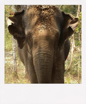 Elephant à Mondolkiri au Cambodge.