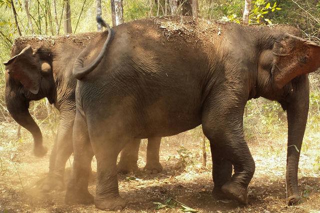 Eléphant à Mondolkiri au Cambodge.