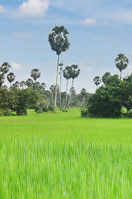 Rizière au Cambodge.