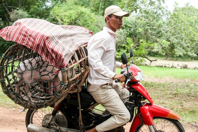 Fermier cambodgien transportant du betail sur sa moto.